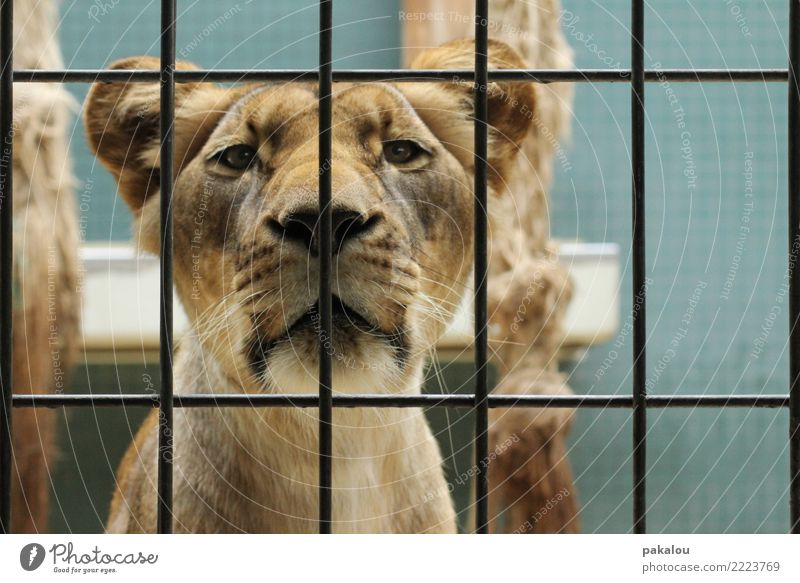 Lion in grid Animal Pelt 1 Metal Blue Brown Communicate Contact Zoo Captured Grating Enclosure predator Partition Face to face food chain Felidae Lioness
