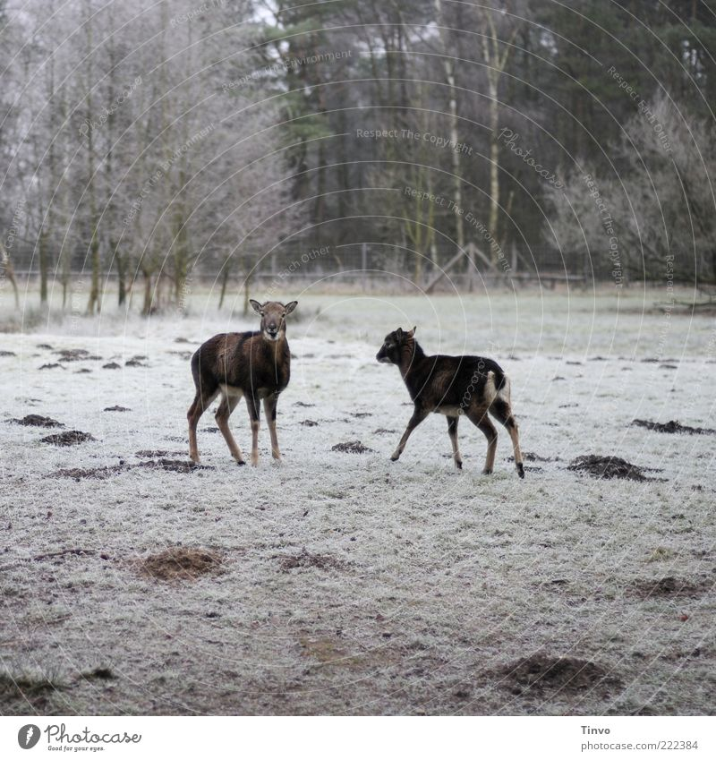 2 deer on a frozen meadow Nature Winter Ice Frost Snow Meadow Forest Wild animal Animal Cold Sika deer Roe deer Timidity Surprise molehill Hoar frost Enclosure