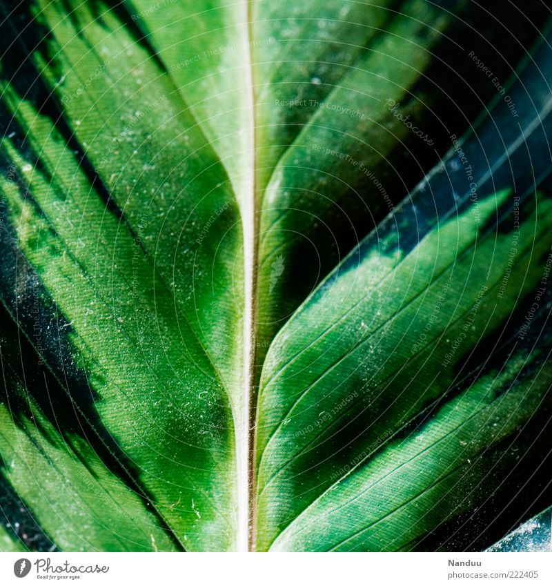 Life. Plant Leaf Foliage plant Exotic Fresh Fragile Rachis marante Green Part of the plant Copy Space left Copy Space right Deserted Colour photo Abstract