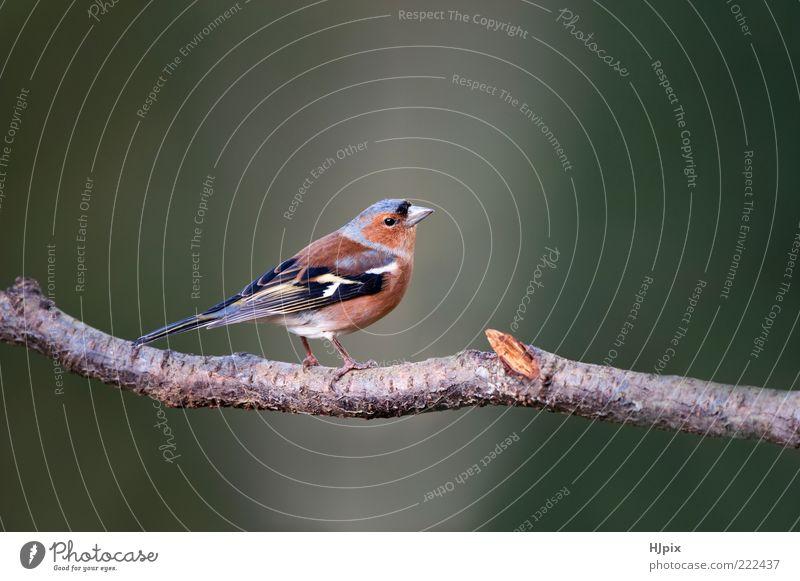 Chaffinch (Fringilla coelebs) Nature Animal Bird Wild Time British European Finch