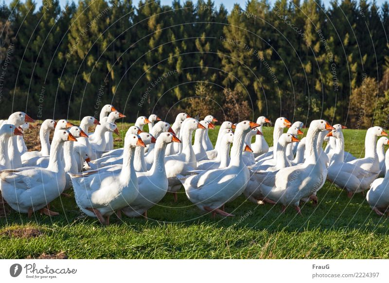 Animal Forest Autumn Happy Freedom Field Walking Beautiful weather Group of animals Goose Duck birds Poultry Free-range rearing