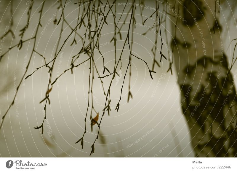 Nature Tree Plant Calm Autumn Gray Moody Environment Gloomy Natural Branch Tree trunk Hang Dreary Birch tree Suspended