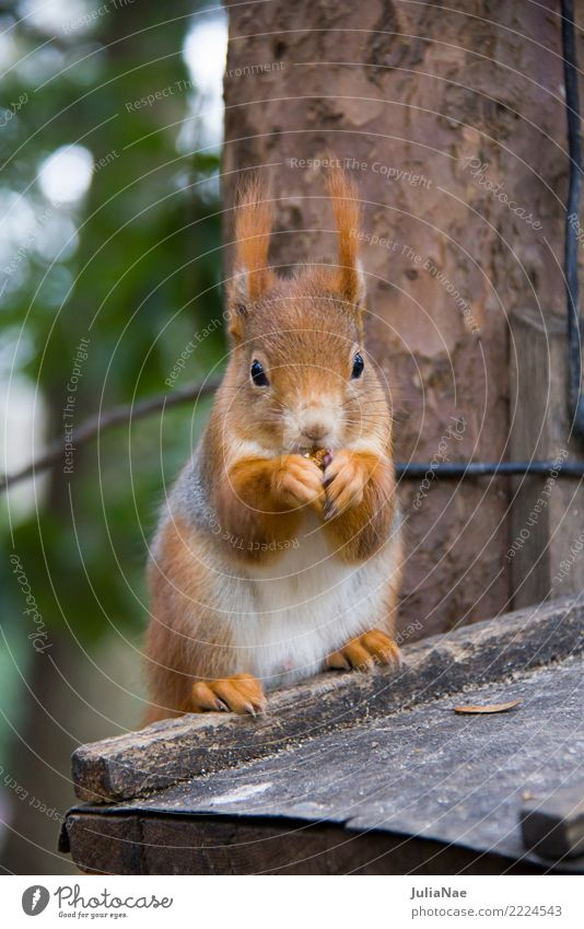 Squirrels eating Wild animal Cute Animal Small Tails Rodent Mammal wildlife Brown Pelt Autumn Forest Beautiful Nature Natural Ear Paw Tree Tree trunk Wood Sit