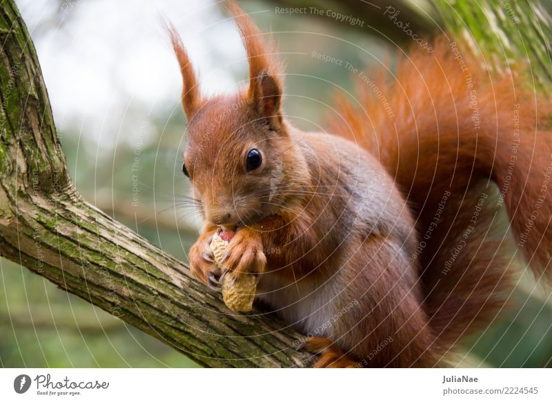 Squirrel eats a peanut Wild animal Cute Animal Small Tails Rodent Mammal wildlife Brown Pelt Autumn Forest Beautiful Nature Natural Ear Paw Tree Tree trunk Wood
