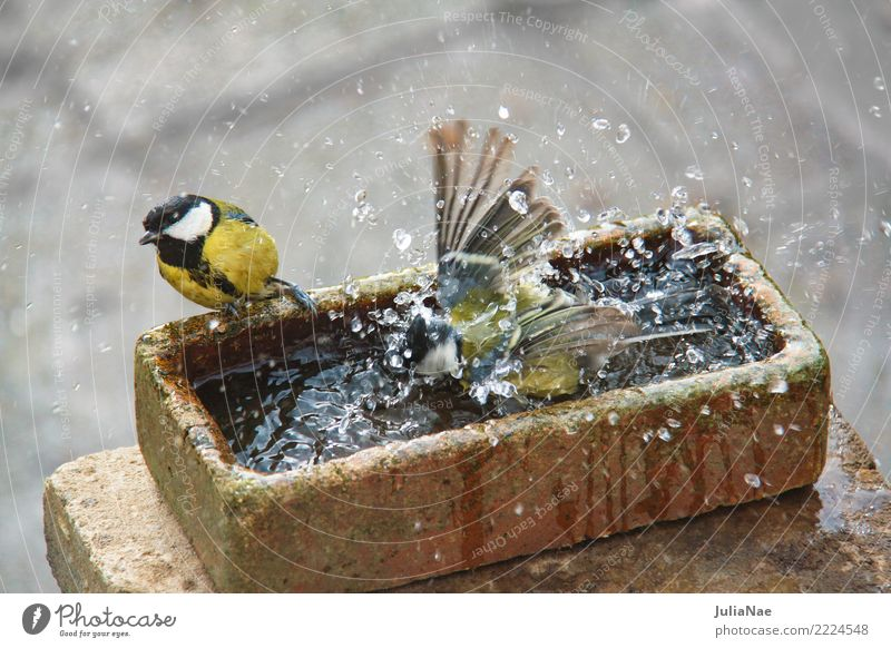 Great titmouse bathing Bird Tit mouse 2 Pair of animals Songbirds Water bathe Wash Inject Cleaning Purifying Swimming & Bathing Exterior shot Multicoloured