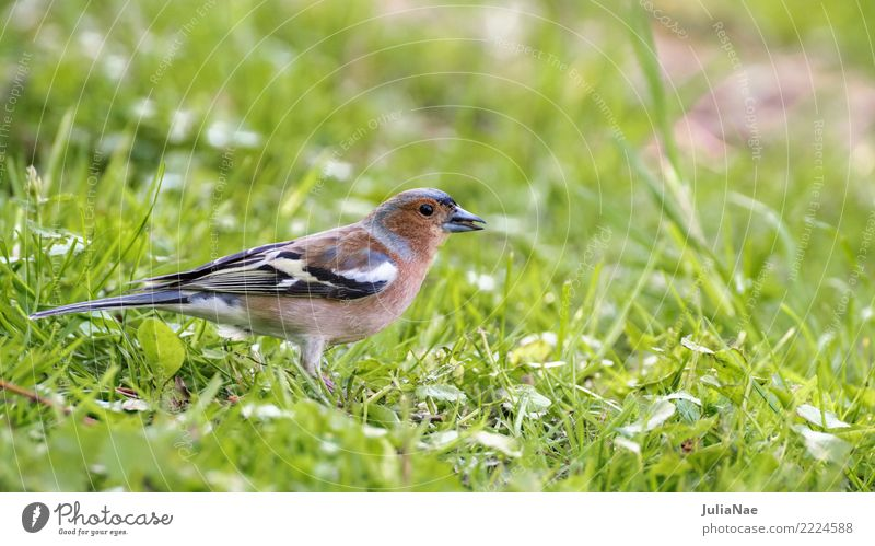 Bunting on the meadow Animal Meadow Wild animal Bird Animal face Wing 1 Green Nature Chaffinch Songbirds Colour photo Multicoloured Exterior shot Close-up