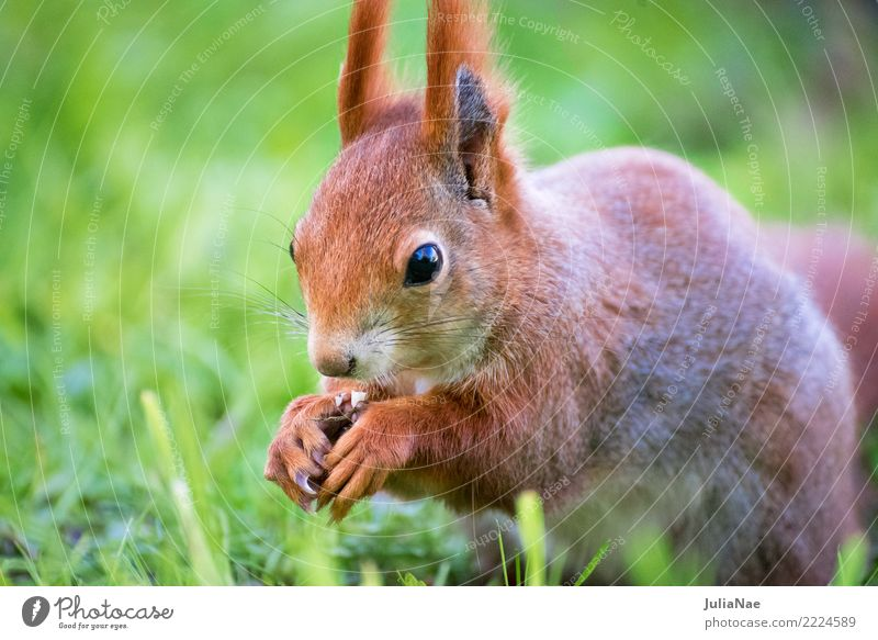 little squirrel eats a nut in the grass Squirrel Wild animal Beautiful Cute Animal Small Tails Rodent Mammal wildlife Brown Pelt Autumn Forest Nature Natural
