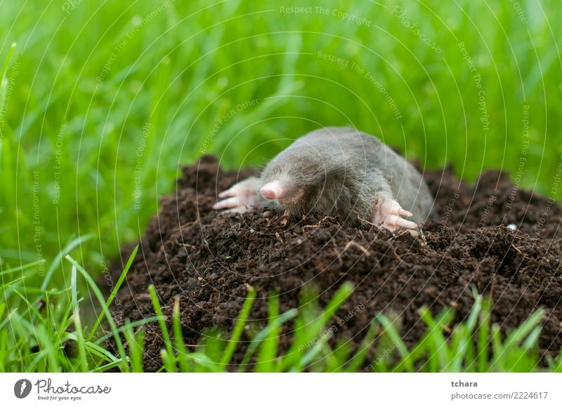 Mole Face House (Residential Structure) Garden Nature Animal Earth Grass Fur coat Small Natural Cute Wild Soft Brown Green Black Dangerous mole Mammal molehill
