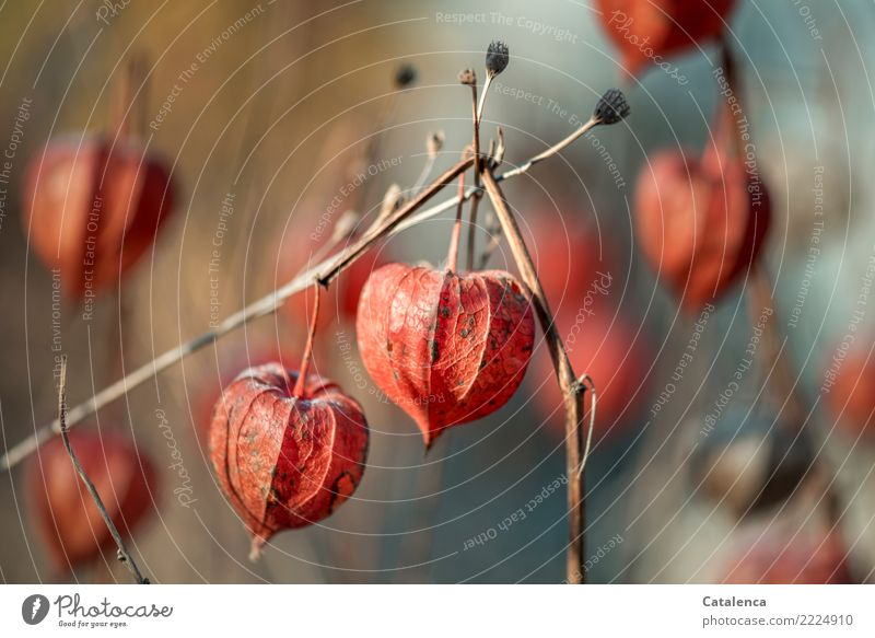 lampions Nature Plant Winter Beautiful weather Physalis Chinese lantern flower Garden Old Hang To dry up Brown Orange Silver Turquoise Moody Propagation Design