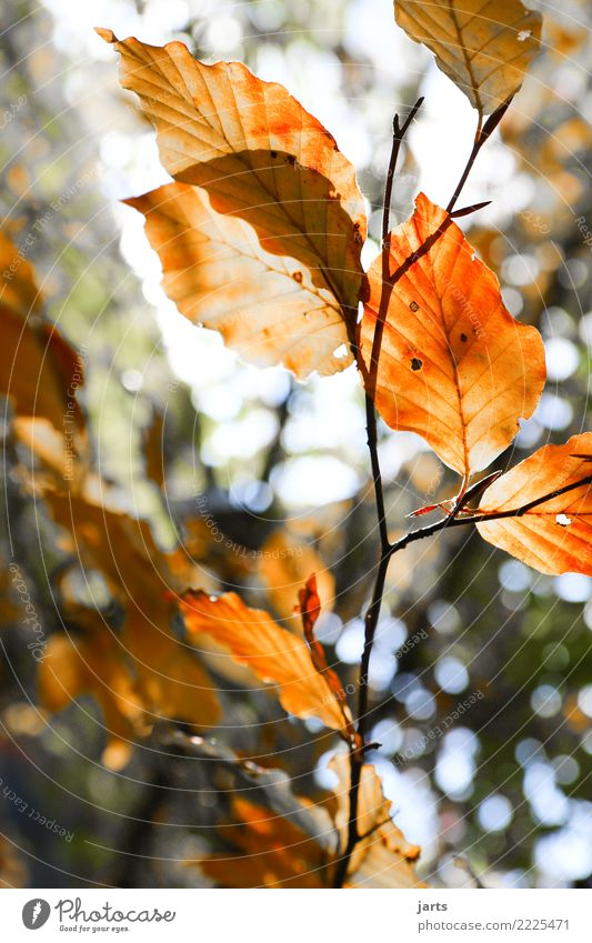 autumn III Plant Autumn Beautiful weather Tree Leaf Forest Fresh Healthy Bright Natural Brown Orange Red Serene Calm Nature Beech tree Colour photo