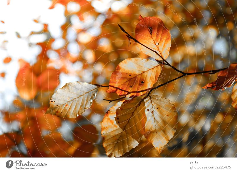 autumn II Plant Sunlight Autumn Beautiful weather Tree Leaf Forest Bright Natural Positive Brown Orange Serene Patient Calm Nature Beech tree Colour photo