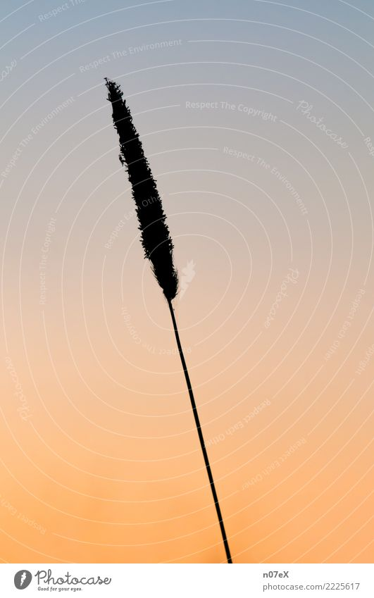 Wild blade of grass in the evening Nature Plant Cloudless sky Sunrise Sunset Grass Thin Fresh Long Blue Brown Yellow Gold Black mosquito Colour photo