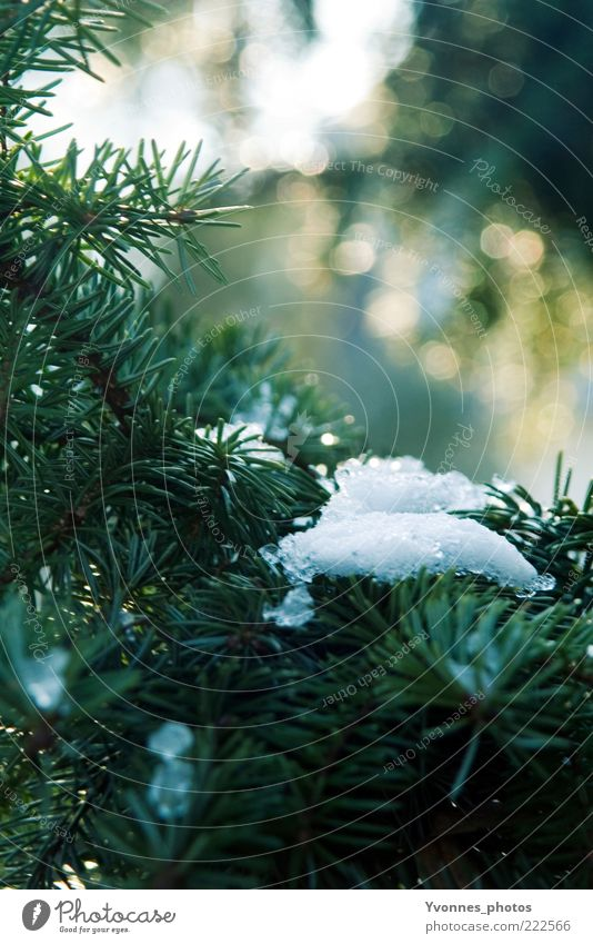 first snow Decoration Ice Feasts & Celebrations Frost Frozen Green Cold Snow crystal Coniferous trees Nature Plant Fir tree Environment White Winter Fir branch