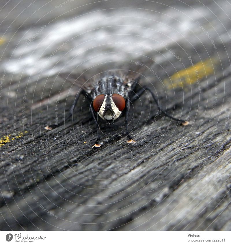 Animal Gray Fly Animal face Wing Curiosity Looking Compound eye Blowfly Wood backing