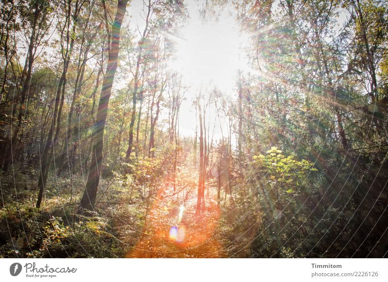 Forest, autumnal. Environment Nature Plant Sky Sun Sunlight Autumn Beautiful weather Tree Bright Natural Brown Green Orange Lens flare Radial Colour photo
