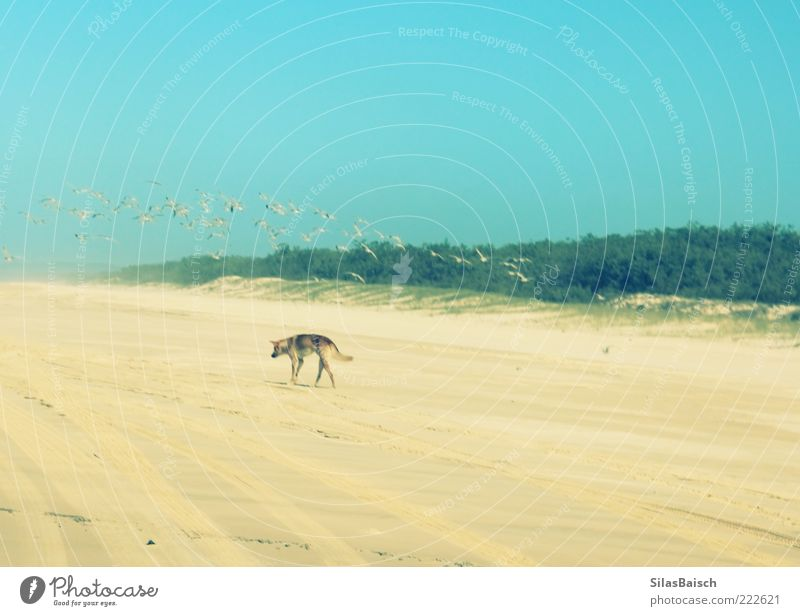 Beach Loneliness Animal Sand Dog Bird Island Wild animal Foraging Flock of birds Sandy beach Dingo