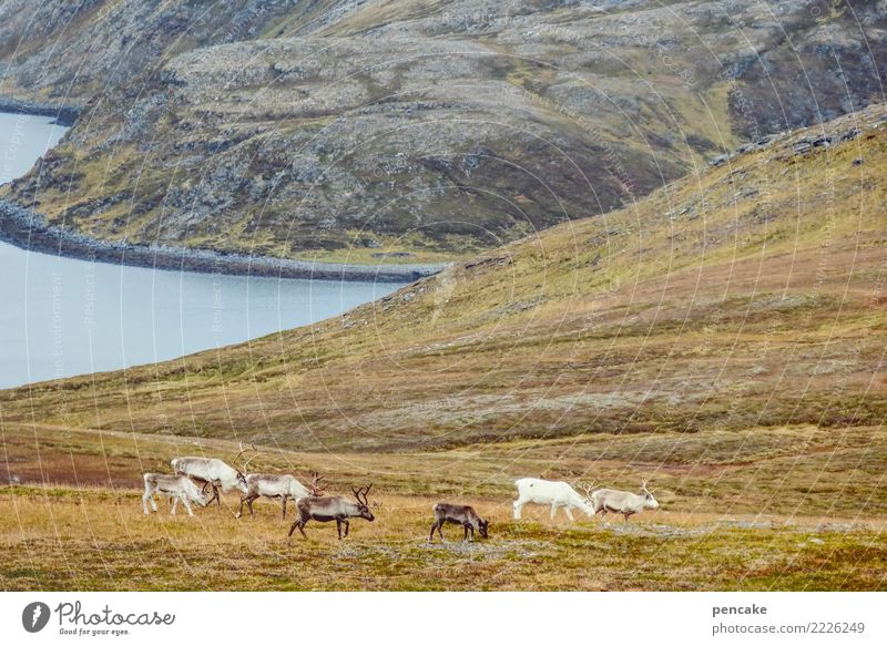 drift Nature Landscape Elements Earth Water Sky Autumn Hill Rock Mountain Coast Fjord Wild animal Group of animals Herd Contentment Attachment Reindeer Norway