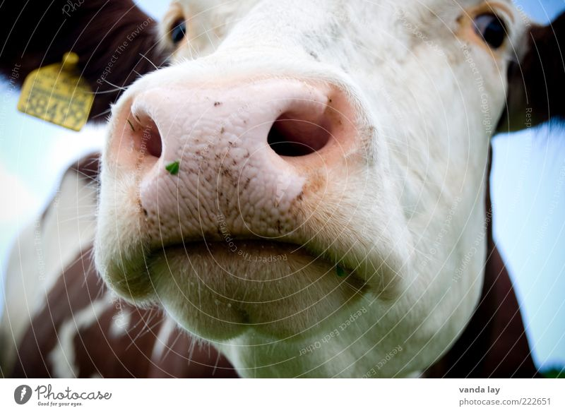 farmer seeks woman Animal Farm animal Cow 1 Signs and labeling Nose Snout Colour photo Exterior shot Deserted Day Wide angle Animal portrait Looking