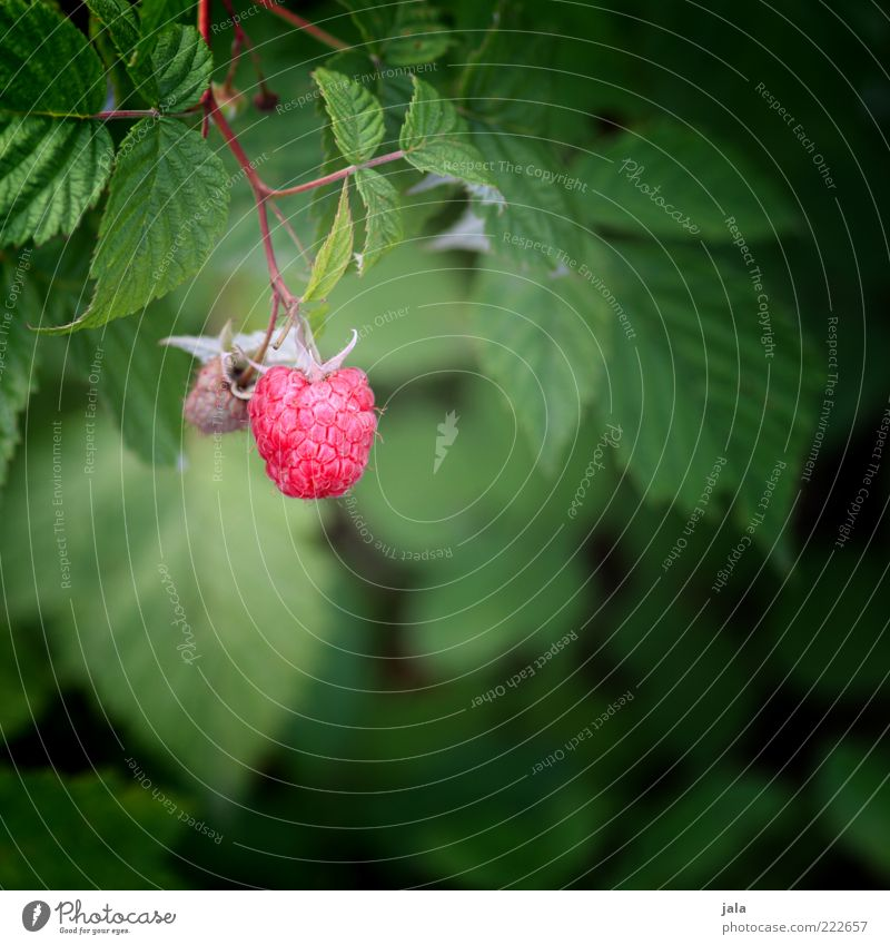 Nature Plant Leaf Healthy Food Fruit Bushes Putrefy Mature Twig Raspberry Light Agricultural crop