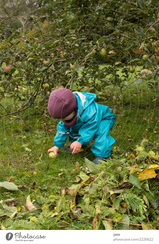 Collect apples Fruit Apple Joy Leisure and hobbies Playing Garden Study Child Toddler Infancy 1 Human being 1 - 3 years Environment Nature Autumn Leaf Meadow
