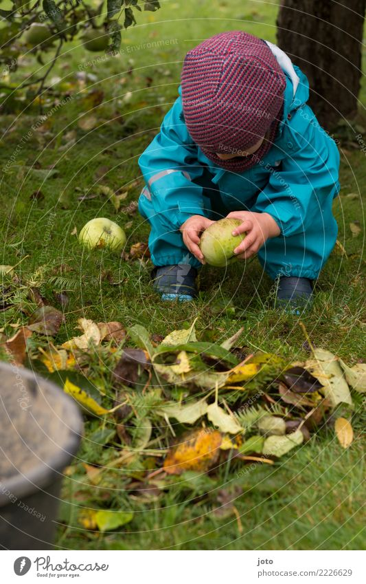 Apple examine Fruit Playing Garden Child 1 Human being 1 - 3 years Toddler Environment Nature Autumn Leaf Apple tree Meadow Rain pants Cap Observe Touch