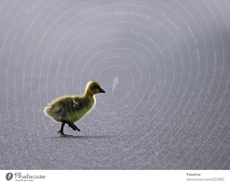 HAPPY BIRTHDAY PHOTOCASE! Environment Nature Animal Earth Wild animal Bird Pelt 1 Baby animal Going Walking Bright Small Natural Cute Chick Goose Gosling