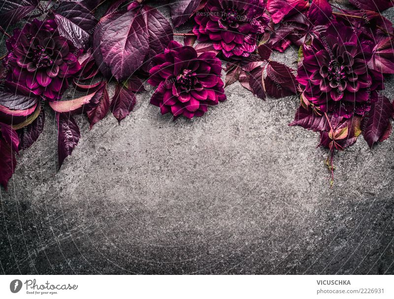 Background with dark purple flowers and leaves Style Design Summer Nature Plant Flower Leaf Blossom Decoration Bouquet Ornament Pink Background picture Dahlia