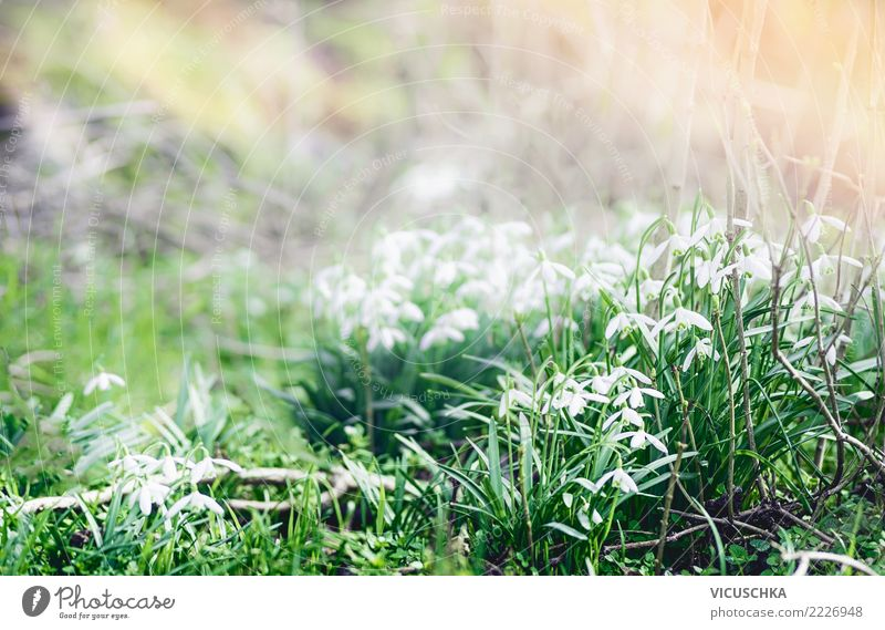 Snowdrops. First heralds of spring in the garden Design Winter Garden Nature Plant Spring Beautiful weather Flower Park Background picture Spring fever Wake up