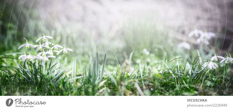 Spring Banner With Snowdrops Flowers A Royalty Free Stock Photo From Photocase