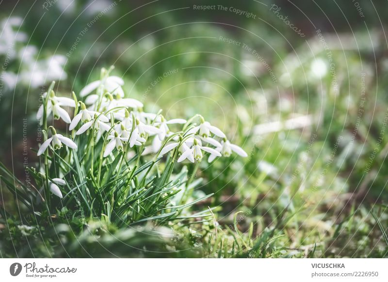 Snowdrops in the spring garden Lifestyle Design Winter Garden Nature Landscape Plant Spring Beautiful weather Flower Leaf Blossom Park Meadow Background picture