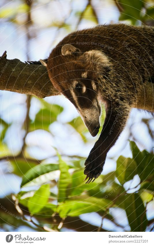 ...let down... Landscape Virgin forest Animal Animal face Claw Paw Zoo Coati 1 Comfortable Relaxation Serene Nature Hang Lie Well-being Switch off Break