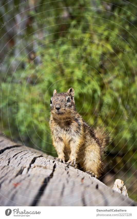 You got a nut? Animal Beautiful weather Forest Park Squirrel Rodent Eastern American Chipmunk Ground squirrel 1 Observe Wait Brash Small Curiosity Animalistic