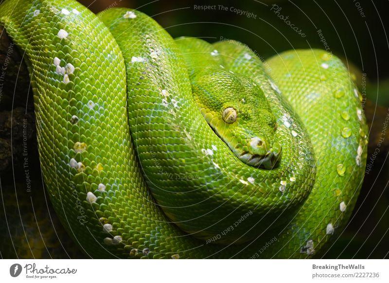 Green tree python (Morelia viridis) close up Nature Colour Beautiful Animal Wild Wild animal Wait Threat Sleep Watchfulness Virgin forest Hang Zoo Animal face