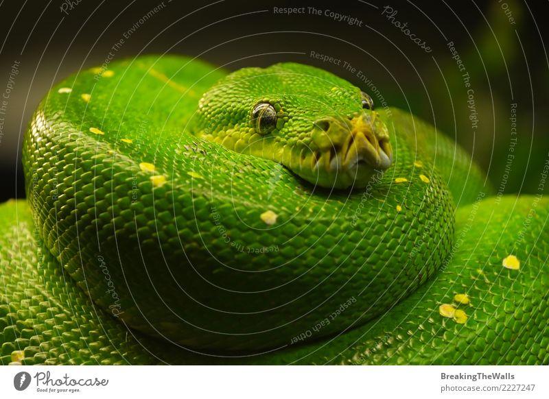 Green tree python (Morelia viridis) close up Nature Colour Beautiful Animal Eyes Wild Wild animal Wait Threat Sleep Watchfulness Virgin forest Hang Zoo