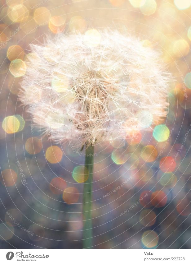 Nature Beautiful Plant Flower Summer Environment Esthetic Dandelion Deep depth of field Seed Individual Lens flare Plantlet Macro (Extreme close-up) Bright background