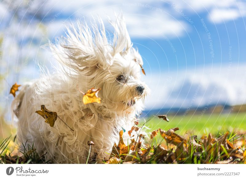 leaf vacuums Animal Autumn Leaf Pet Dog 1 Blue White Bichon Havanais Havanese Mammal rascal Action Sky small dog Colour photo Exterior shot Copy Space right Day