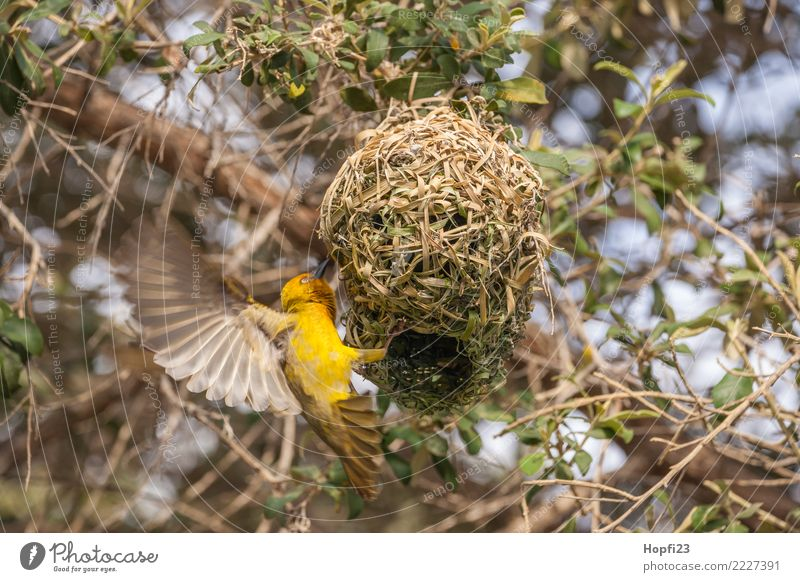 Yellow Weaver Bird Building A Nest A Royalty Free Stock Photo