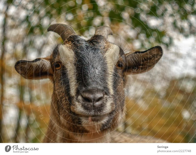 I'm up for it or not Animal Pet Farm animal Animal face Pelt Zoo 1 To feed Feeding Goats He-goat Colour photo Multicoloured Exterior shot Close-up Detail