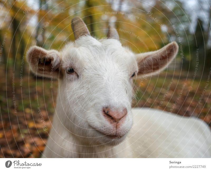 Animal Sweet Touch Discover Pet Animal face Feeding Farm animal Goats Animal tracks Petting zoo He-goat Goatskin Kidskin goat's beard