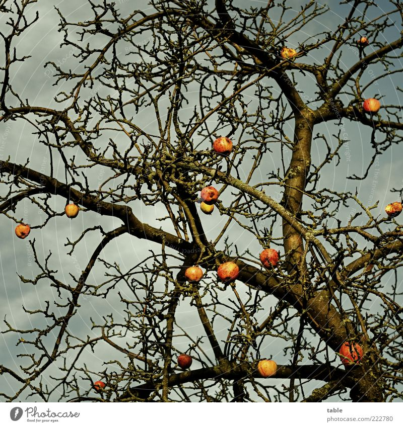 winter apple Fruit Apple Environment Nature Plant Sky Autumn Winter Weather Tree Apple tree Tree trunk Branch Twig Old Hang Growth Dark Natural Transience