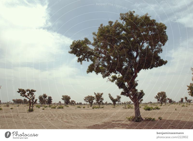 mali tree Plant Tree Bushes Bleak Steppe Africa Mali Sky Sand Tree trunk Colour photo Exterior shot Deserted Copy Space left Copy Space top Day Light Shadow