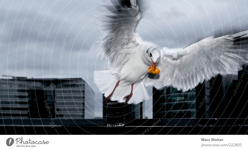 Dramatic departure Bad weather Animal Seagull 1 Movement Flying To feed Esthetic Dark Black Silver White Appetite Feed Airy Dynamics Beginning Nutrition Beak