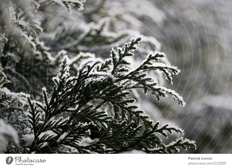 wintertime Environment Nature Plant Winter Weather Cold White Thuja Snow Ice Frost Winter mood Delicate Hang Colour photo Close-up Deserted Day Evening Light