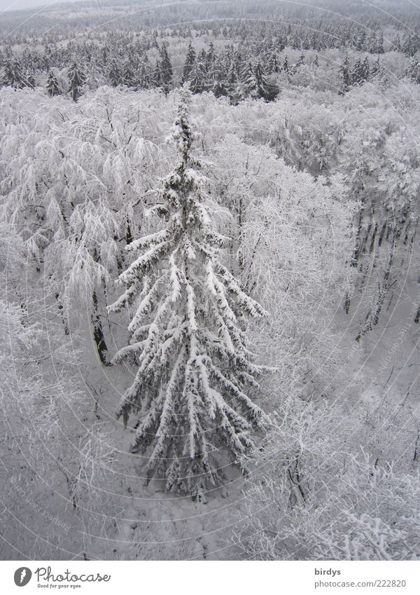 Nature Plant Winter Forest Cold Snow Above Landscape Moody Ice Tall Frost Wild Peace Natural Fir tree