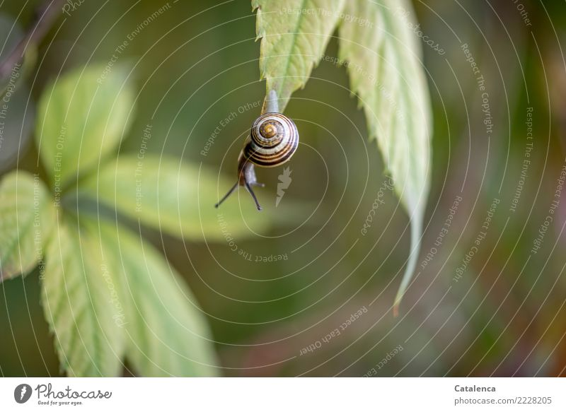 risk-taker Nature Plant Animal Autumn Leaf Virginia Creeper Garden Snail schnirkel snail 1 Hang Beautiful Small Slimy Brown Yellow Green Brave Effort Survive