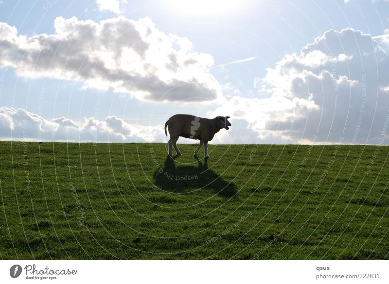 Where is it, freedom? Nature Sky Clouds Beautiful weather Grass Animal Farm animal Sheep 1 Going Loneliness Dike Descent Downward Search Doomed Colour photo