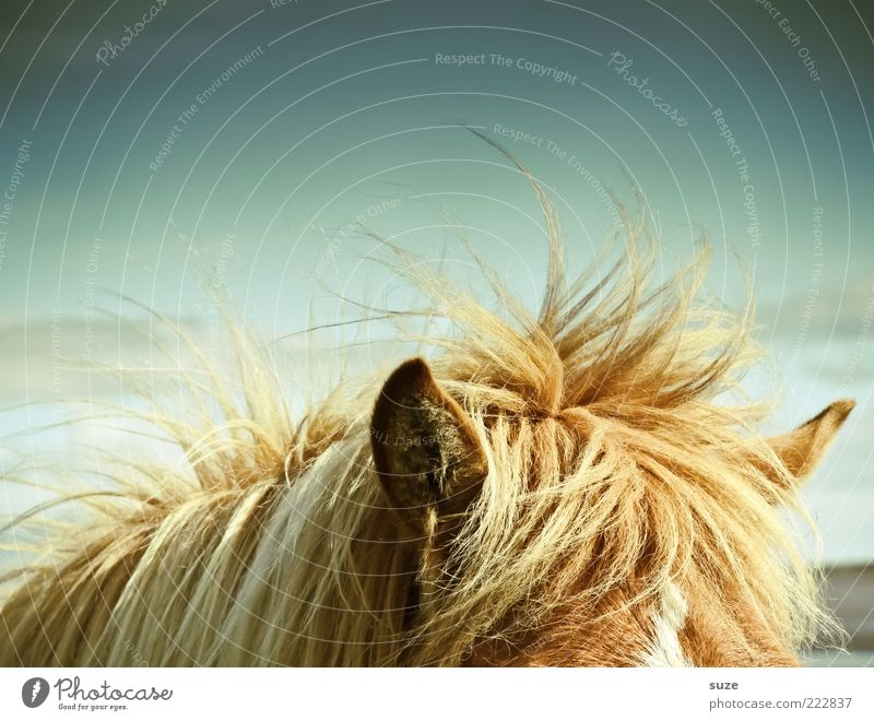 Animal Weather Wind Horse Ear Wild Listening Wild animal Iceland Watchfulness Pony Mane Gust of wind Iceland Pony Coat color
