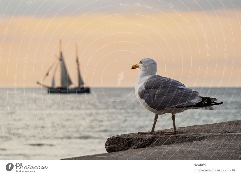 Sailing ship and seagull at the Hanse Sail in Rostock Vacation & Travel Tourism Water Coast Baltic Sea Navigation Maritime Romance Idyll Nature Tradition