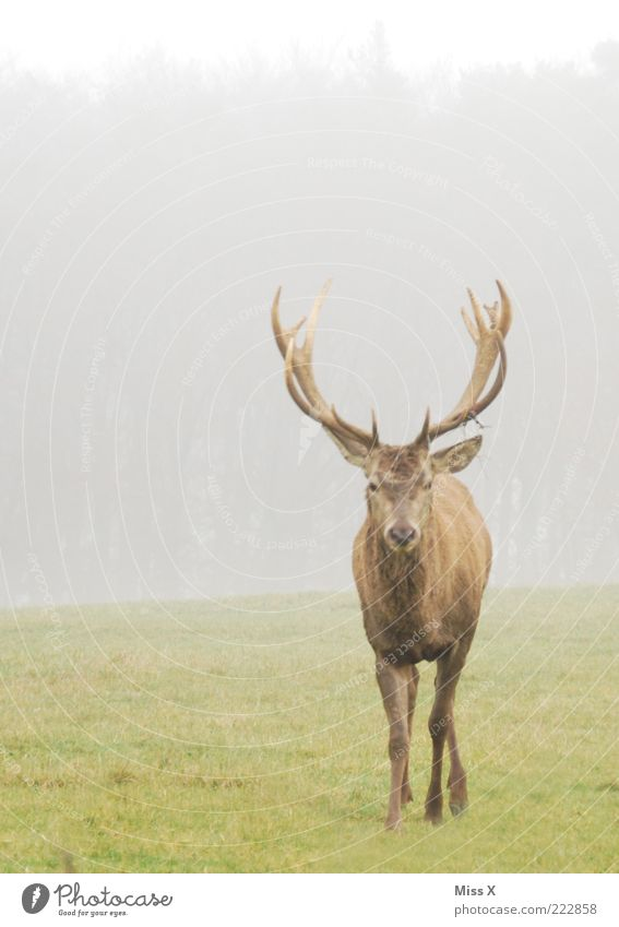 no a Hirsch Nature Animal Autumn Winter Bad weather Fog Meadow Wild animal 1 Arrogant Pride Deer Antlers Even-toed ungulate Colour photo Subdued colour