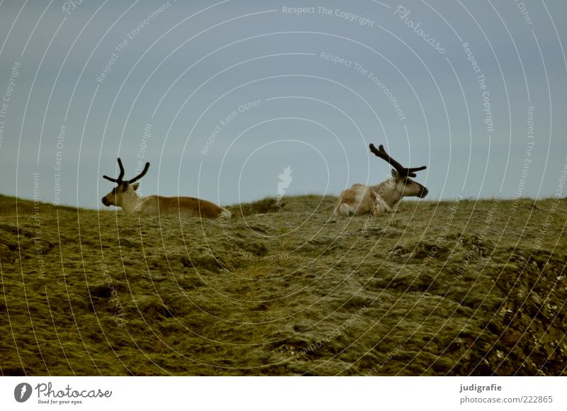 Sky Nature Animal Life Meadow Environment Pair of animals Sit Lie Wild Natural Wild animal Iceland Antlers Reindeer Opposite
